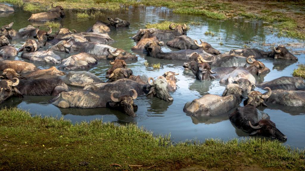 Yala National Park: Dieren spotten vanuit de jeep