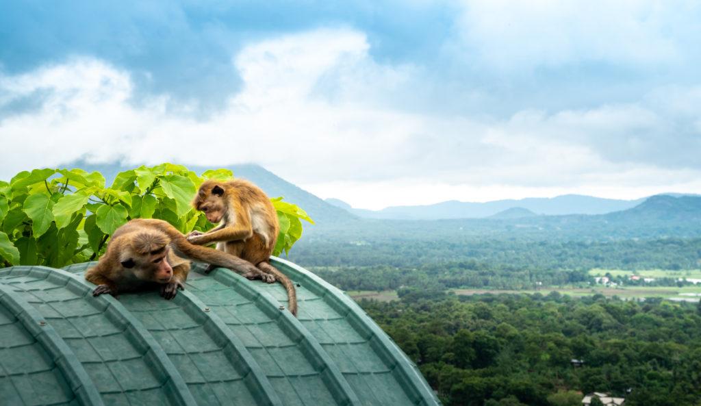 Aapjes, Sri Lanka