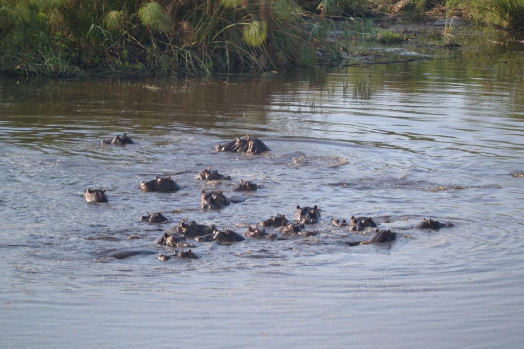 Nijlpaarden Namibie