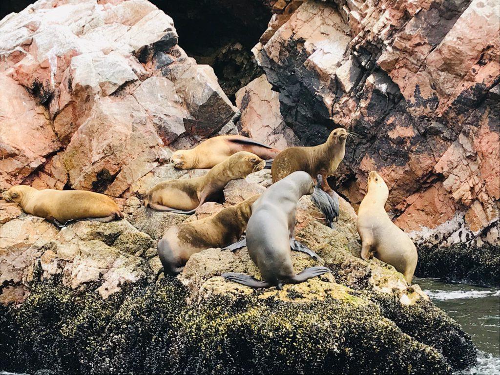 Ballestas-eilanden-tour-zeehonden